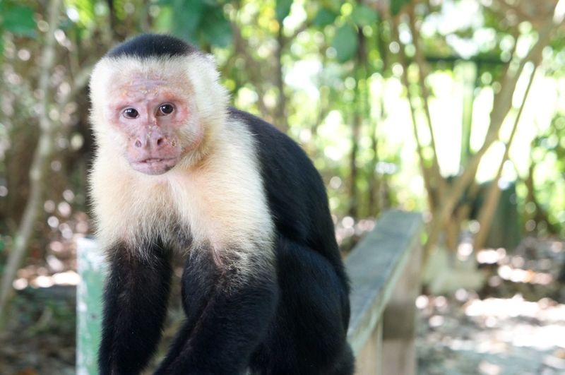 Portrait of monkey sitting on railing in forest