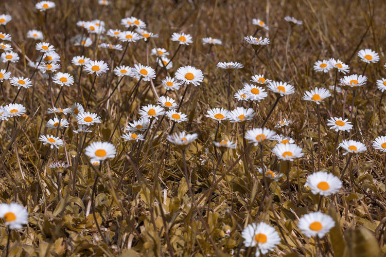 Camomilla Full Frame Flower Head Flower Poppy Flowerbed Springtime Uncultivated Petal Wildflower Field Summer Black-eyed Susan Dandelion Seed Flora Blossoming  Dandelion Crocus Plant Life Daisy Spring Pure Vegetation Greenery Lush Pollen Foliage Relaxing Moments Cosmos Flower Botany Softness