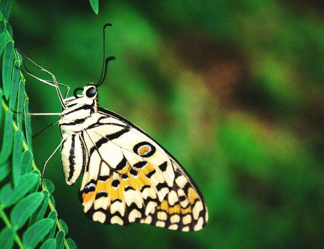 Butterfly Butterfly - Insect Macro Photography Green Kupukupu EyeEm Selects EyeEmNewHere