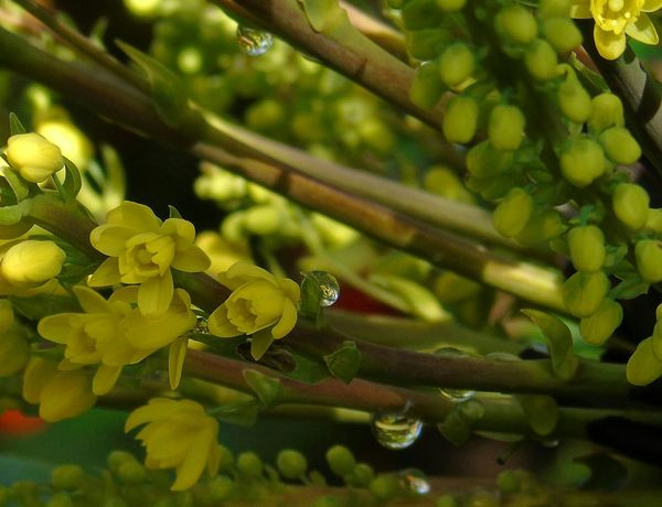 Growth Nature Yellow Close-up Beauty In Nature Plant Flower Fragility Water Droplets Green Color Freshness Mahonia Flowers
