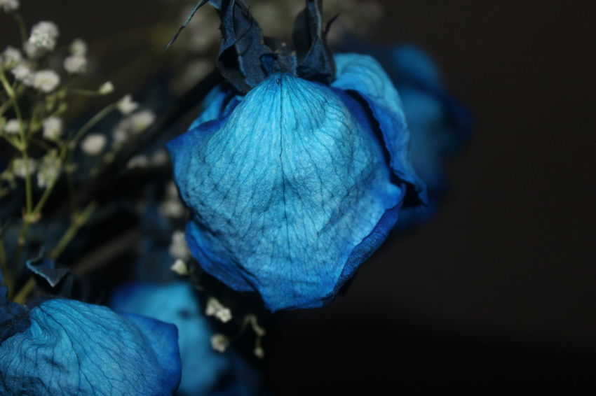 Blue Rose waiting to be love