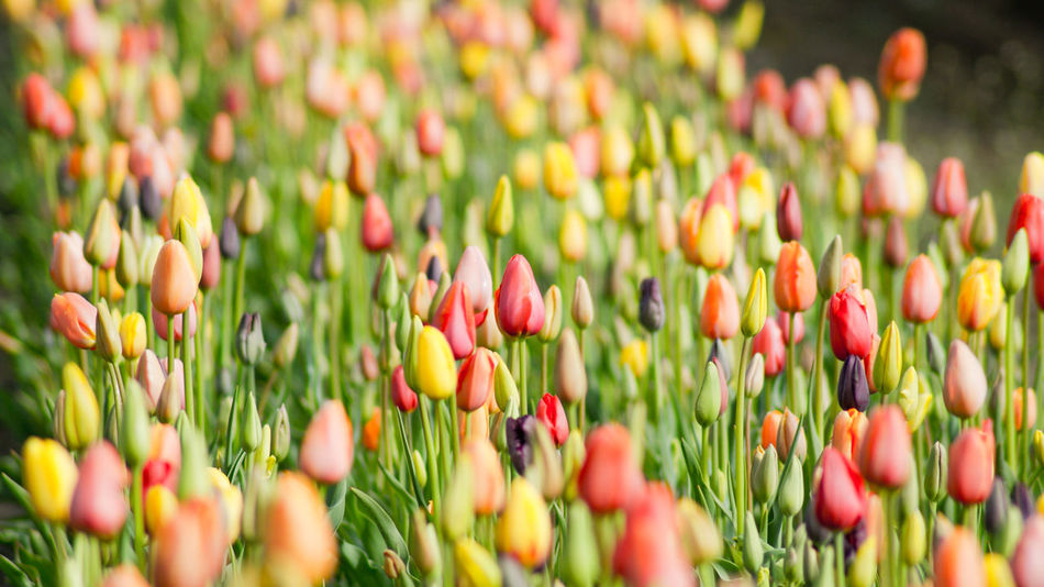 Abundance Beauty In Nature Blooming Bud Close-up Day Field Flower Flower Head Focus On Foreground Fragility Freshness Growing Growth Hidden Gems  Home Is Where The Art Is Multi Colored Nature Outdoors Petal Plant Rural Scene Colour Of Life Stem Tulip