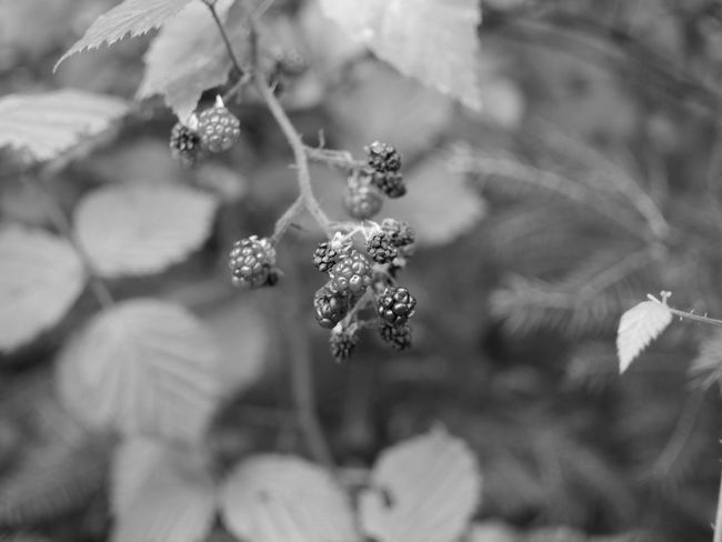 fresh berriesberries Berries Nature Background Beauty In Nature Berry Berry Fruit Berrys Blackandwhite Blackandwhite Photography Blackberries Blackberry - Fruit Branch Branch With Berries Close-up Day Freshness Growth Nature Naturelovers Naturephotography No People Outdoors Photography Plant Wallpaper