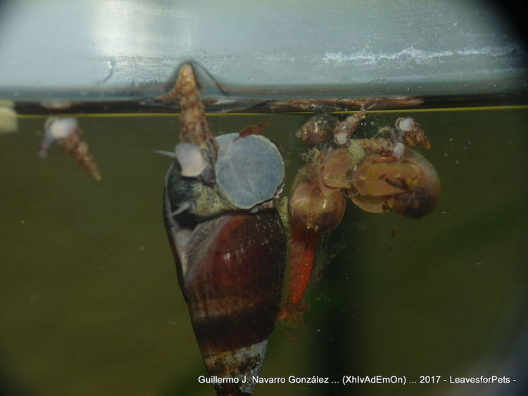 Gambas Animal Themes Caracol Acuático Caracoles  Close-up Davidi Gamba Melanoides Tuberculata Melanopsis Nature Neocaridina No People Physa Snail Planorbis Snails Water Watersnail