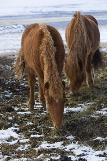 Animal Themes Beauty In Nature Cold Temperature Day Domestic Animals Filly Highland Cattle Iceland Iceland Horse Iceland Horses Livestock Mammal Nature No People Outdoors Pony Snow Winter