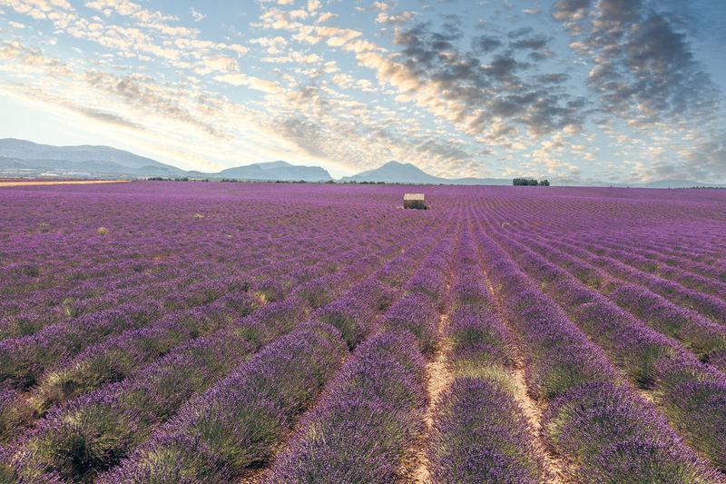 Purple flowering plants on field against sky during rainy season
