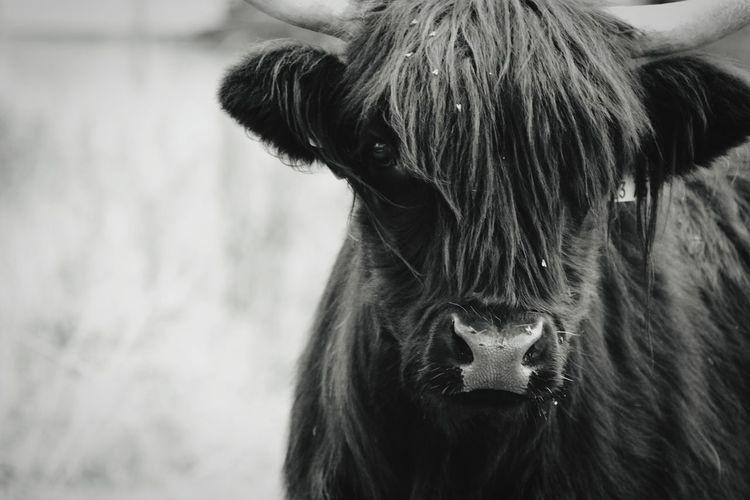 Close-up portrait of a bull