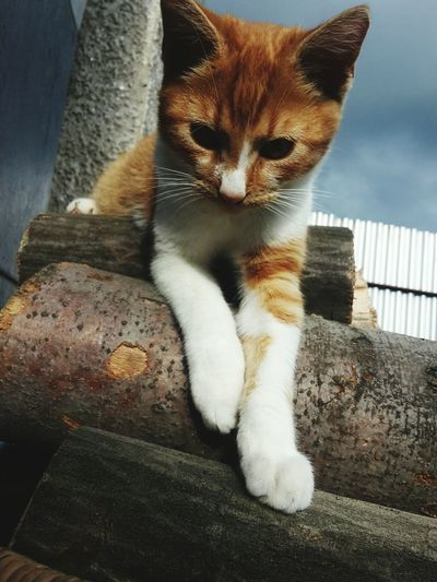 Pets One Animal Feline Sitting Looking At Camera No People Day Cat♡