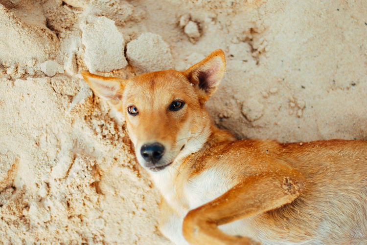 One Animal Mammal Domestic Canine Domestic Animals Dog Pets Portrait Looking At Camera No People Vertebrate Relaxation Animal Body Part Day Brown Outdoors