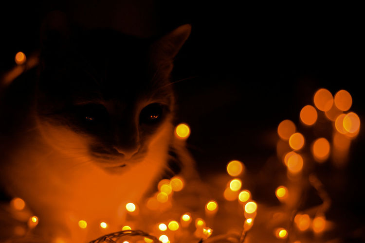 Christmas cat Christmas Christmas Lights Winter Animal Themes Cat Christmas Cat Christmas Lights Domestic Animals Domestic Cat Illuminated Light Cat Night Pets White Cat