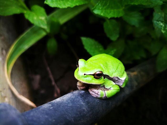 Nature Green Color Green Green Frog Reptile Iguana Close-up Green Color Frog Amphibian Animal Eye Animal Skin