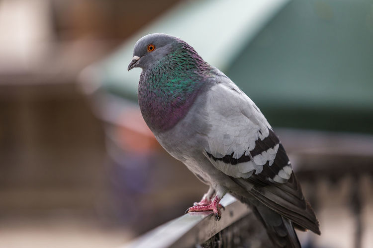 Pigeon portrait Bird Photography Bolivia Cochabamba Nature Animal Animal Themes Animal Wildlife Animals Animals In The Wild Beauty In Nature Bird Birds Close-up Day Focus On Foreground Nature No People One Animal Outdoors Perching Pigeon Pigeon Bird  Pigeons Plaza South America