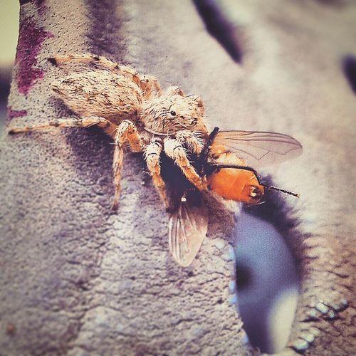. دیدین چقدر مگس زیاد شده آخ آخ اصلا خجالت نمیکشن دسشویی میرن و بعدش میان سر میز یکی نیست بهشون بگه آخه بیشوعور خودتون مریض میشید . . در هر حال، ما این شکارچی رو استخدام کردیم عنکبوت خیلی کارش درسته اوصیکم به پرورش عنکبوت شکارچی بعله . . ماکرو ماکروگرافی Spider Hunter Fly Macro