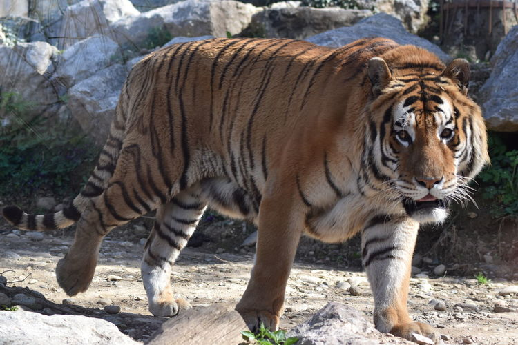 Tiger on rocks in zoo