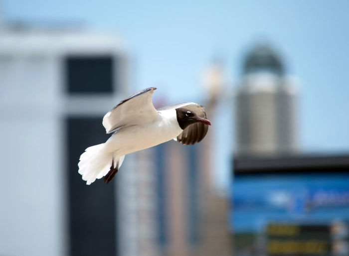 Close-up of black-headed gull flying against buildings