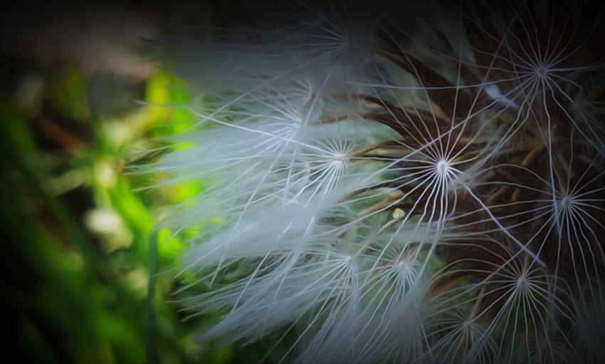 Taraxacum #EyeEmEsterlinda #italy Beauty In Nature Botany Focus On Foreground Fragility Freshness Nature Selective Focus Softness Tranquility White Color Wildflower