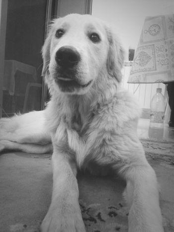 Goldenretriever Sweety Dog Dogstagram Yuri