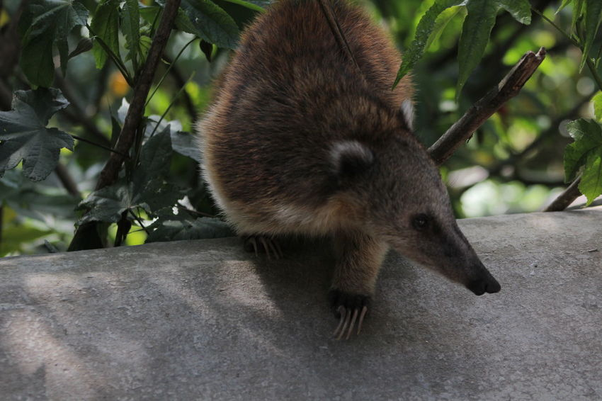 Coati Animal Themes Animal Wildlife Animals In The Wild Close-up Day Mammal Nature No People One Animal Outdoors Raccoon Red Panda Standing