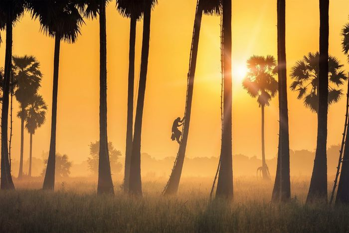 Black Silhouette Man Rice Plant Insurance RISK Career Fog Sugar Palm Farmer Morning Light Lifestyle Original Work Punter ASIA Thailand Sunset Tree Palm Tree Nature Silhouette Sun Business Stories Sunlight Mammal Grass Sky Growth Tree Trunk Day Business Stories Shades Of Winter