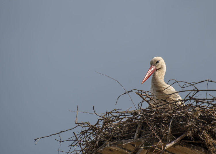 Vertebrate Animal Wildlife Animal Themes Animals In The Wild Animal Bird Animal Nest One Animal Sky Nature No People Copy Space Clear Sky Low Angle View Stork Day Bird Nest Beak White Stork Outdoors Mouth Open
