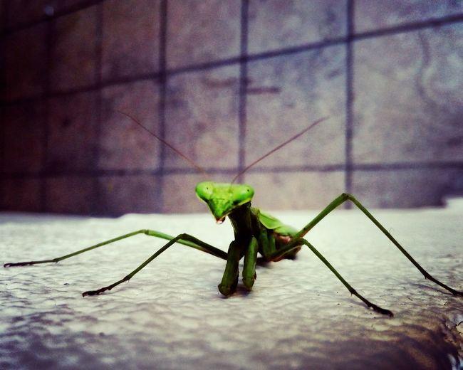 1° Foto en esta vaina Green Color One Animal No People Day Nature MantisReligiosa FotoTomadaConCelular First Eyeem Photo
