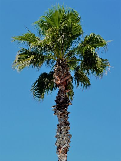 Cocoa Beach Beauty In Nature Blue Branch Clear Sky Close-up Day Florida Green Color Growth Leaf Low Angle View Nature No People Outdoors Palm Tree Palme Sky Tree Tree Trunk