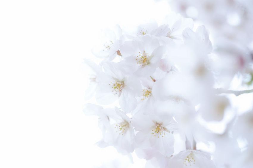 4月の色🌸Cherry Blossoms Nature Flower Taking Photos Spring White Japan Kitakyushu Beauty In Nature Fukuoka EyeEm Best Shots EyeEm Gallery FUJIFILM X-T1 Fujifilm_xseries Soft Focus Softfocus