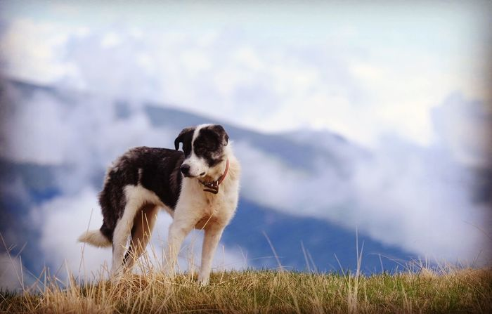 A dog 🐕 in the mountain ⛰ Clouds Journey Travel Mountain Best Friend Hiking One Animal Animal Themes Mammal Animal Pets Domestic Animals Domestic Day Cloud - Sky Nature No People Field Vertebrate Dog Outdoors Canine Grass Sky Plant Land