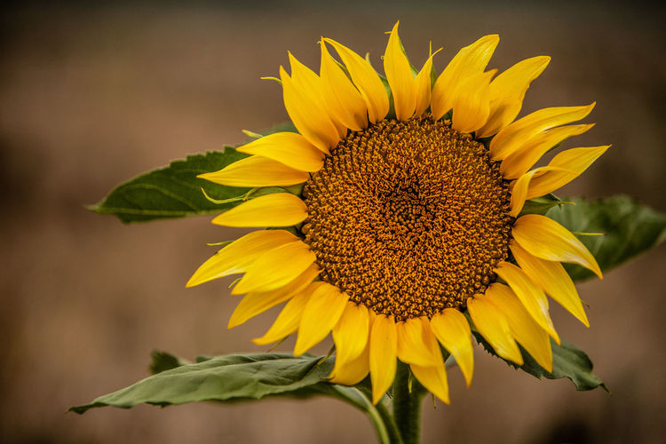 Close-up of wilted sunflower on plant