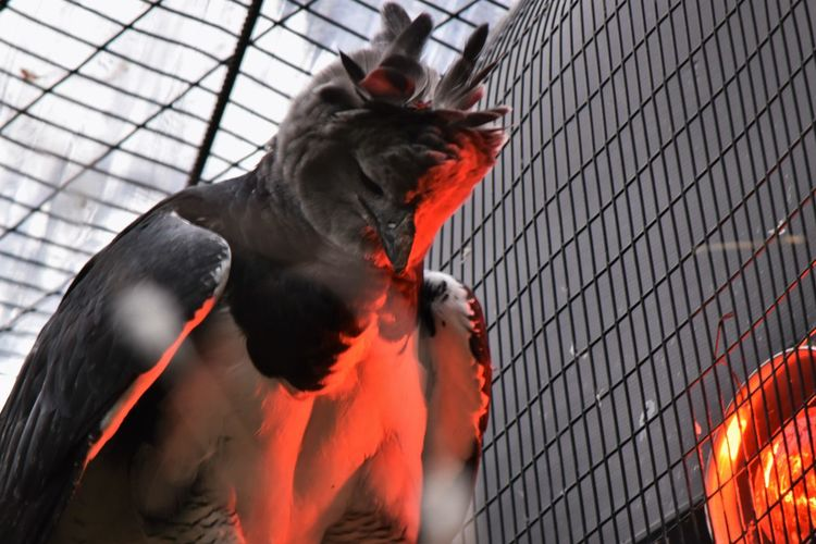 Animal Themes Bird In Red Faces Of EyeEm Harpy Eagle Red Zoo Zoo Animals  Zoology Zoophotography