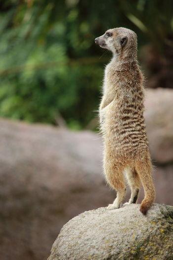 Close-Up Of Meerkat Standing On Rock