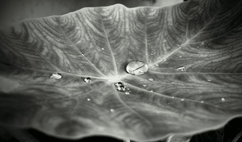 Close-up Beauty In Nature Indiaphotographer Worldwide_shot Indianphotographer Beauty In Nature Nokia808Pureview Nokia808 Mobile Phone Photography Mobilephotography Mobilephoto Nature Abstract Photography Droplets EyEmNewHere Colours Of Nature Macro Photography Plant Indiapictures Streetsofindia👣 Streetphotography Drops Water India Blackandwhite Photography