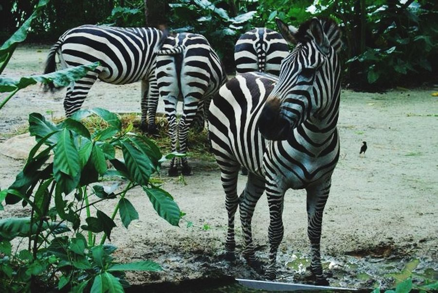 Zebra Zebra Print Animal Zoo Zoo Animals  EyeEm Nature Lover Check This Out Zebra Stripes Black And White