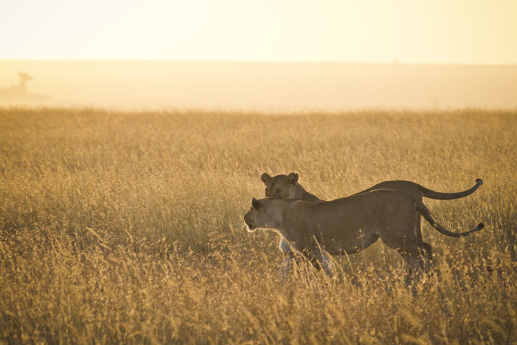 Side view of lioness running on grassy field during sunset