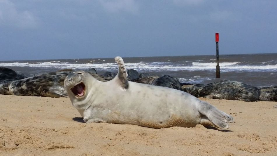 """Hi there"" Water Sea Beach Sand Pets Sea Life Dog Sea Lion Animal Themes Sky Seal - Animal Coastline Aquatic Mammal Seal"