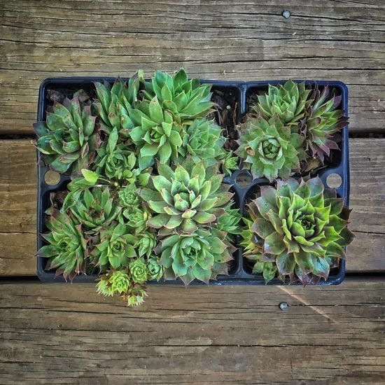 Hens and chicks. Succulents Gardening Container Gardening Wooden Texture Plant Texture Check This Out HensAndChicks Things I Like Green Showcase April