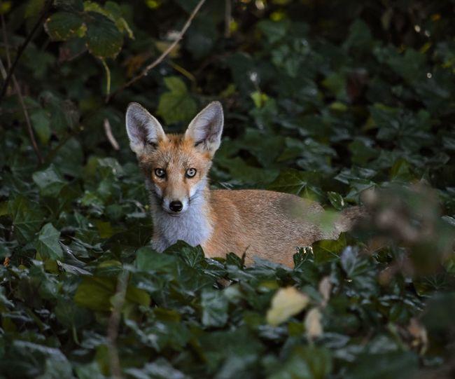 Portrait of fox cub in ivy