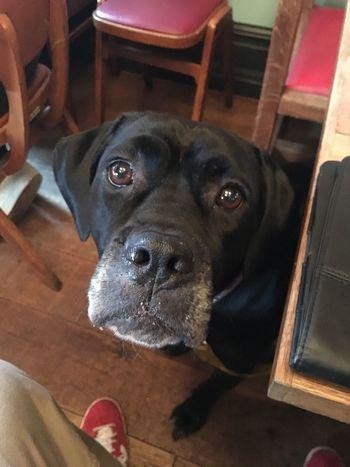 Cane Corso Black Dog Mans Best Friend Dog Begging Canine Rescue Rescuedog Italian Mastiff Mastiff