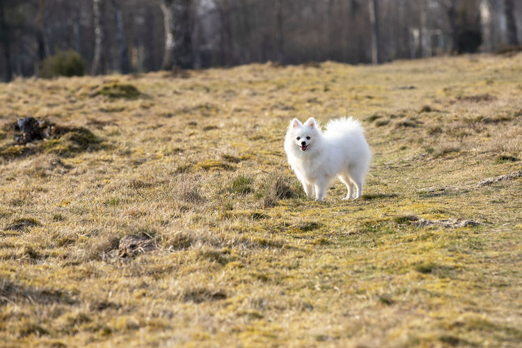 Portrait of white dog on field Dog Pets Animal Cute Outdoors Puppy Young Animal Grass Domestic Domestic Animals Spitz-Type Dog Small White Color Nature One Animal Animal Themes Mammal Volpino Volpino Italiano Land Vertebrate Field Portrait Looking At Camera No People Day Selective Focus Pomeranian My Best Photo