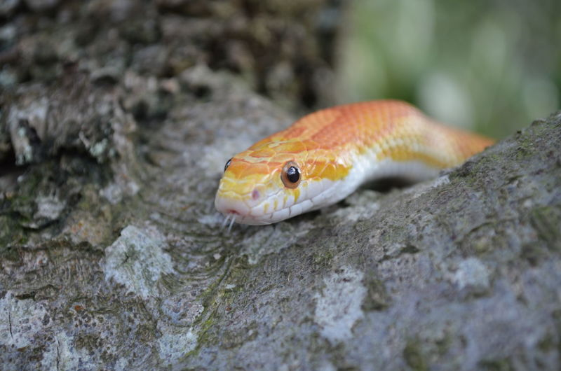 Snake Tree Animal Animal Body Part Animal Eye Animal Head  Animal Themes Animal Wildlife Animals In The Wild Close-up Day Focus On Foreground Nature No People One Animal Orange Color Outdoors Reptile Selective Focus Solid Textured  Vertebrate Be Brave