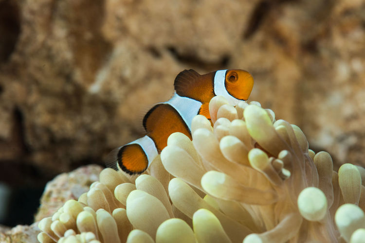 Close-up of clown fish swimming by coral in sea