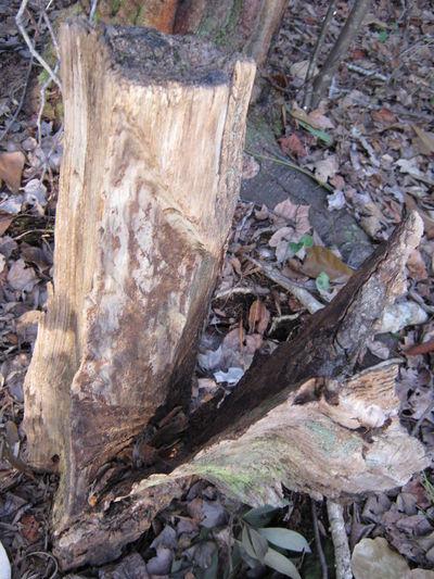 Lightning Stricken Stump Wood Art Woodporn Woods