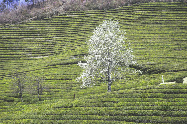 Agriculture Beauty In Nature Green Color Green Tea Korea Landscape Mountain Nature Outdoors Scenics Tea Crop Tranquil Scene Tranquility Tree