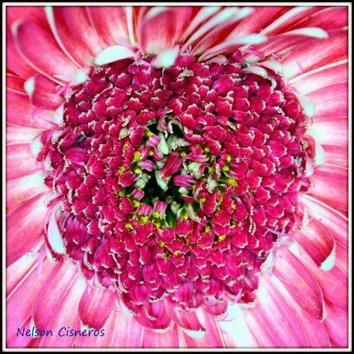 Hasta el mas bonito corazon de las bella flor, suele a veces poseer un hueco oscuro, para poder observarlo muchas veces hay que acercarse bastante Macro_perfection Macro_family Floralstyles_gf Igersmiranda_flores venezuelagarden jj bd insta_ve
