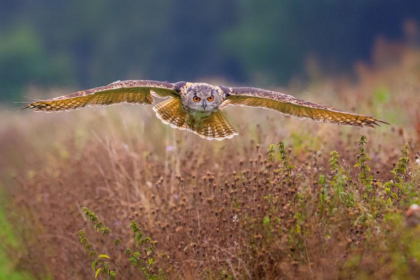 Eagle owl in flight hunting Animal Themes Animals In The Wild Bird In Flight Bitds Bubo Bubo Eagle Owl  Hunting Nature Owl Wildlife