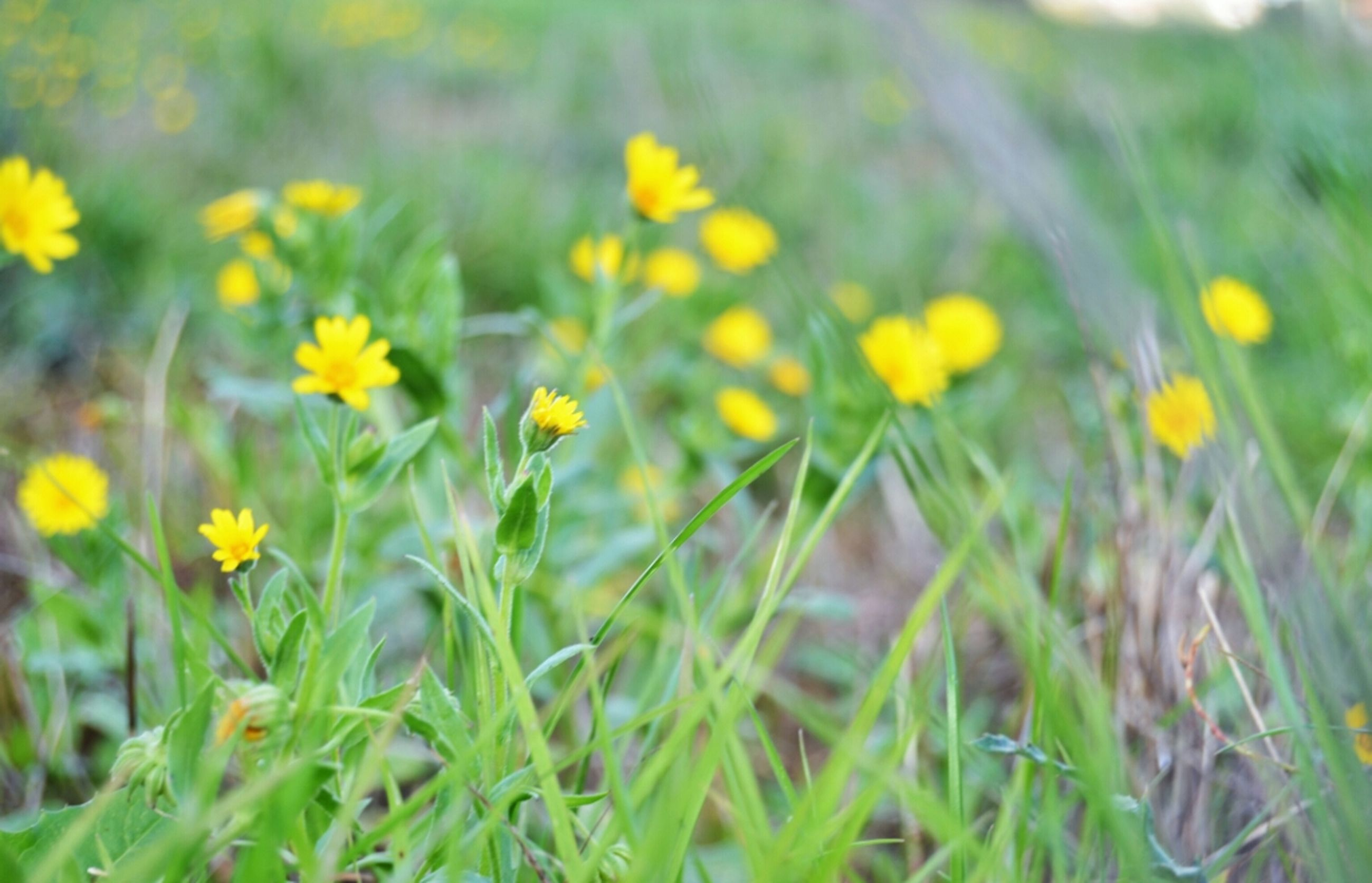 flower, freshness, growth, yellow, fragility, petal, beauty in nature, field, blooming, flower head, nature, plant, focus on foreground, close-up, in bloom, grass, selective focus, green color, wildflower, stem