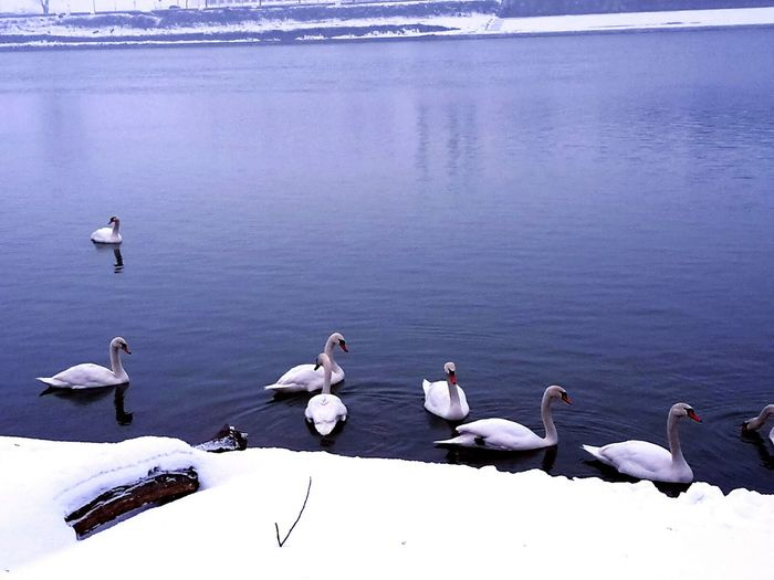 Bird Animal Wildlife Animals In The Wild Water Cold Temperature Lake Winter Nature No People Outdoors Day Swan Swans Swans ❤ Snow ❄ River Sava Live For The Story Frozen Water Beauty In Nature
