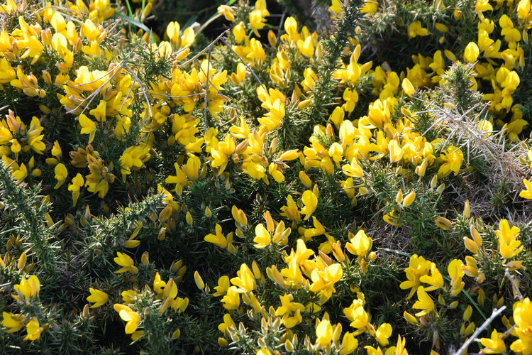 Gorse flowers - yellow flowers blooming Flower Yellow Flowering Plant Plant Growth Freshness Beauty In Nature Fragility Vulnerability  Flower Head Close-up Petal Nature Inflorescence Outdoors Gorse Flowers European Furze Common Gorse Europe Sea Beach France Wild Plants Edible Flowers Thorn