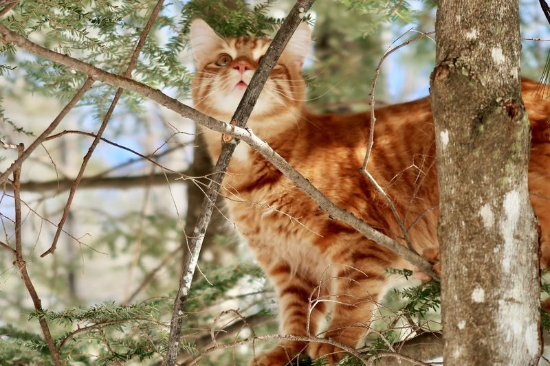 Orange tabby cat in a tree