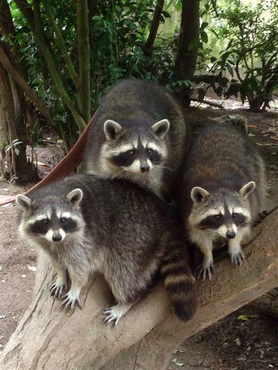 Raccoon family group EyeEmNewHere Animal Themes Looking At Camera Raccoon